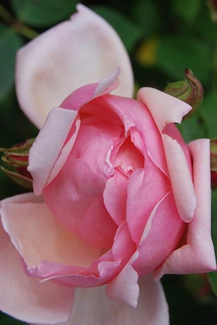Free rose flower rose bloom pink petals plant