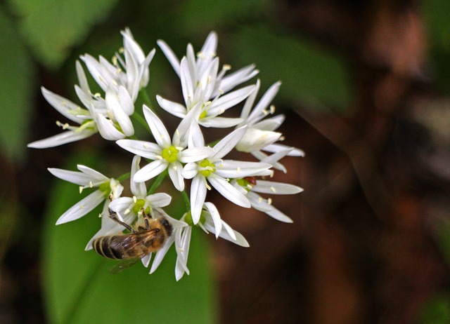 Free bear's garlic flower bloom white forest plant