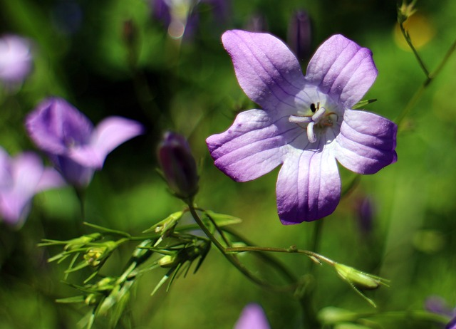 Free bellflower flower campanula petals star