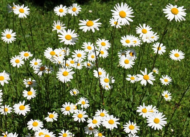 Free daisies flowers plant bloom white wild flowers