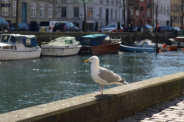 Free seagull bird animal copenhagen
