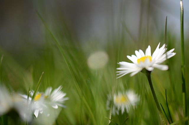 Free daisy flower nature plant flora
