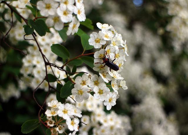 Free Photos: Bush spiere flower flowers bloom white bushes | Manfred Antranias Zimmer