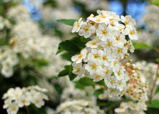 Free Photos: Bush spiere flower flowers bloom white bushes | Manfred Antranias Zimmer