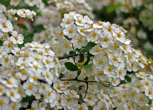 Free bush spiere flower flowers bloom white bushes