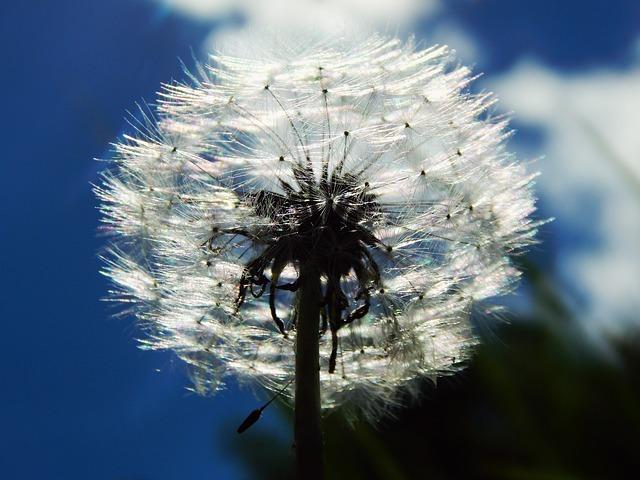 Free sky smetanka dandelion fluff white macro spring