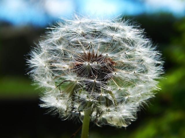 Free               fluff dandelion smetanka medical macro flower
