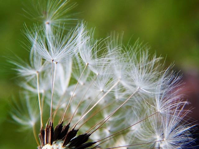 Free smetanka dandelion medical macro fluff