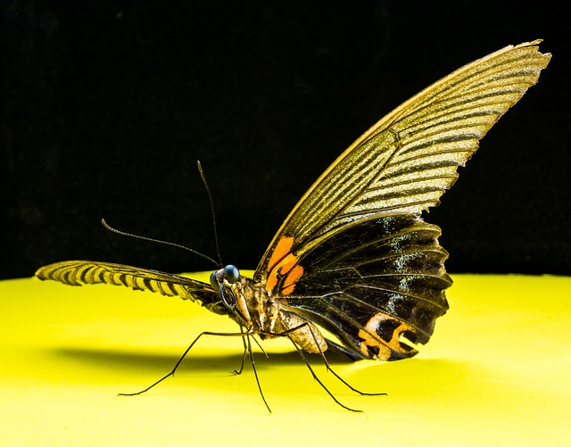 Free butterfly insect