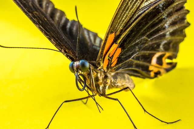 Free Photos: Butterfly insect | Josch13