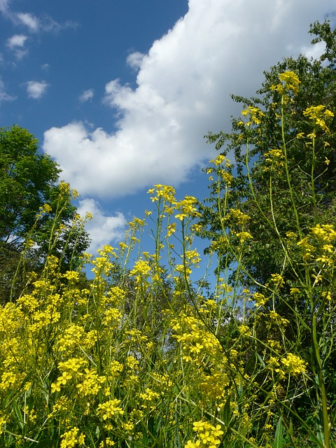 Free flower flowers yellow sky blue clouds nature
