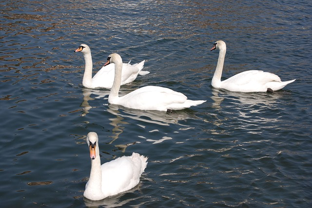 Free mute swan cygnus olor white water cobs river