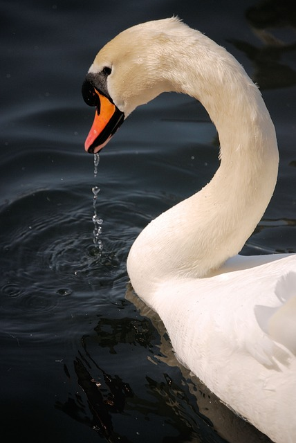 Free mute swan cygnus olor close-up waterfowl river