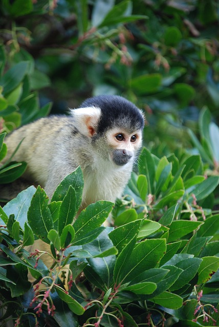 Free squirrel monkey saimiri eyes tree animal mammal