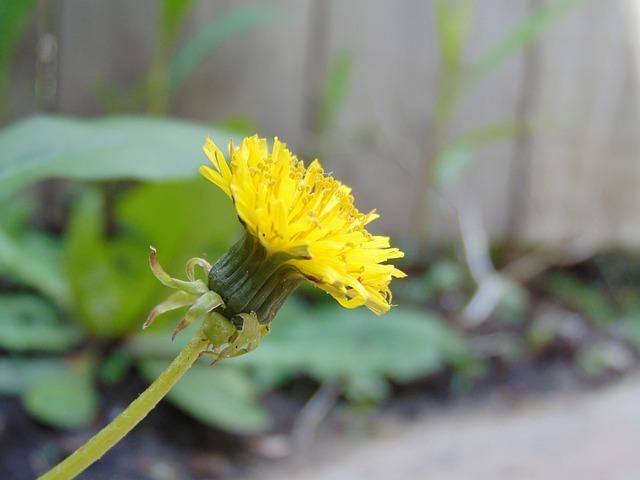 Free dandelion flower wild flower spring nature plant