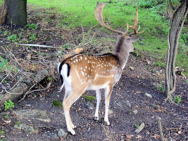 Free roe deer capreolus capreolus stag antlers