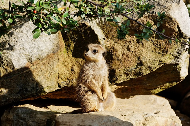 Free meerkat rock sitting evening sun enclosure animal
