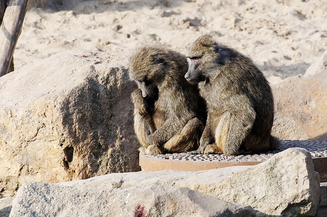Free baboon couple sitting sand stones enclosure