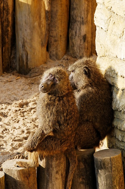 Free baboon sitting log sand evening sun enclosure
