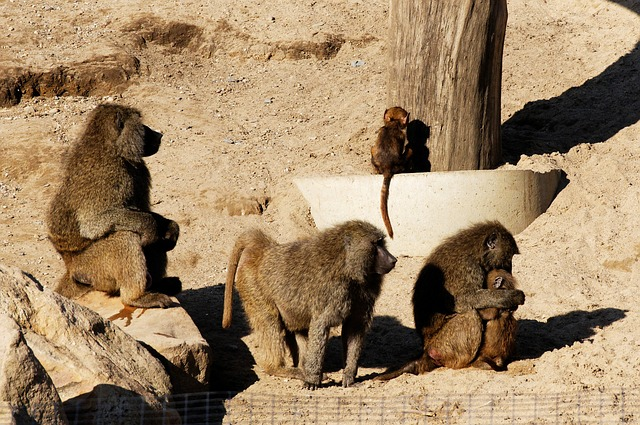 Free baboon young animals family sand rock enclosure