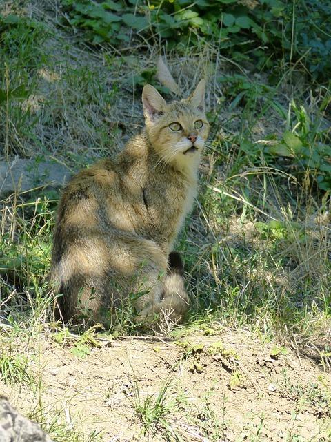 Free animal mammal cat wildcat predator dangerous