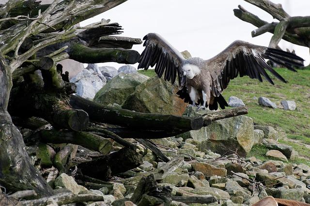 Free vulture griffon vulture scavengers bird plumage
