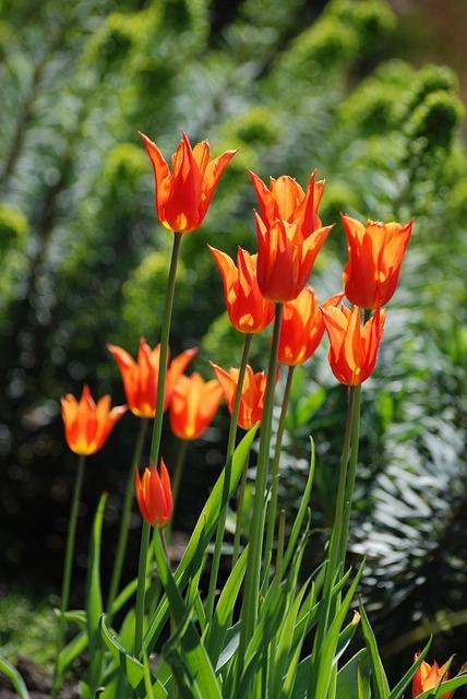 Free tulips flower perennial orange bulbs