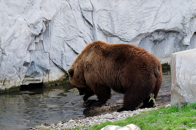 Free bear brown kamchatka bear water rock enclosure