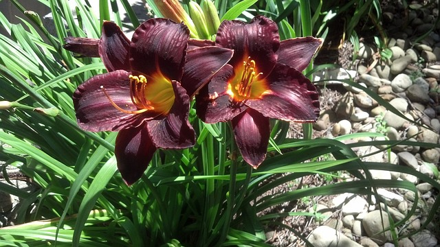 Free lily red green nature bloom flowers garden