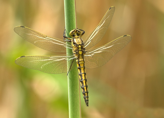 Free               dragonfly insect animal wing summer chitin