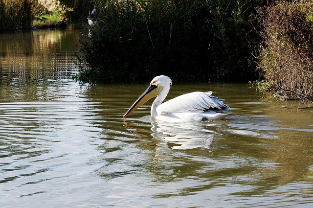 Free pelikan bird water bird floating water reed