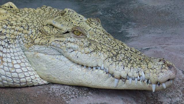 Free crocodile alligator predator reptile animal tooth
