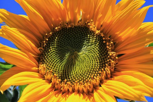 Free sunflower flower yellow petals round