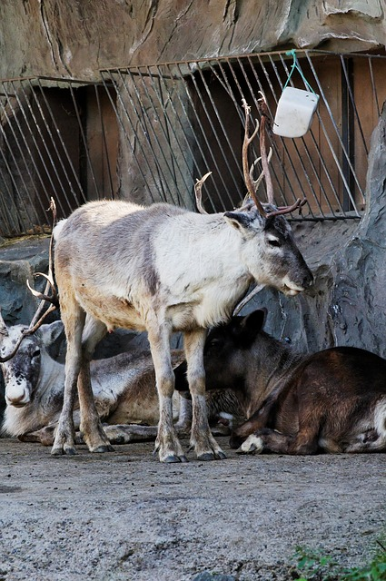 Free reindeer standing enclosure animal zoo
