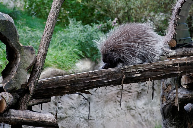 Free porcupines porcupine log enclosure animal zoo