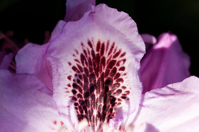 Free rhododendron single flower flower genus