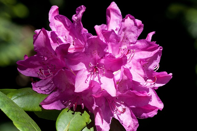 Free rhododendron traub notes doldentraub inflorescences