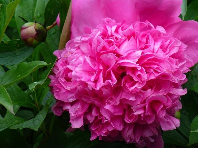 Free peony flower flora garden nature spring pink