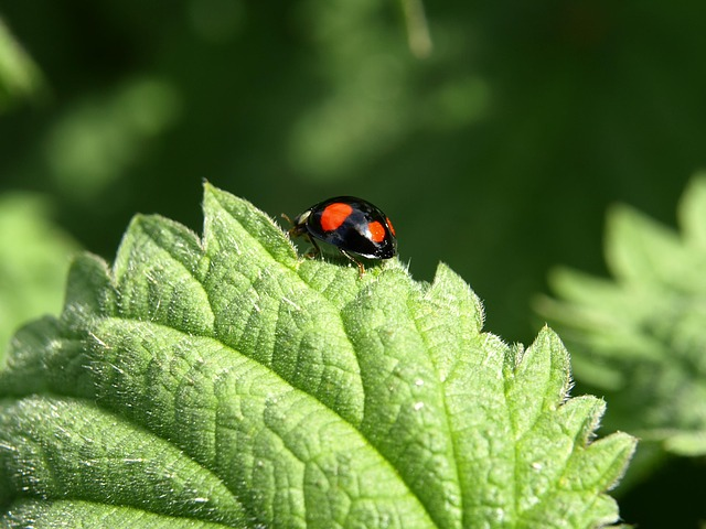 Free red point beetle beetle insect nature close