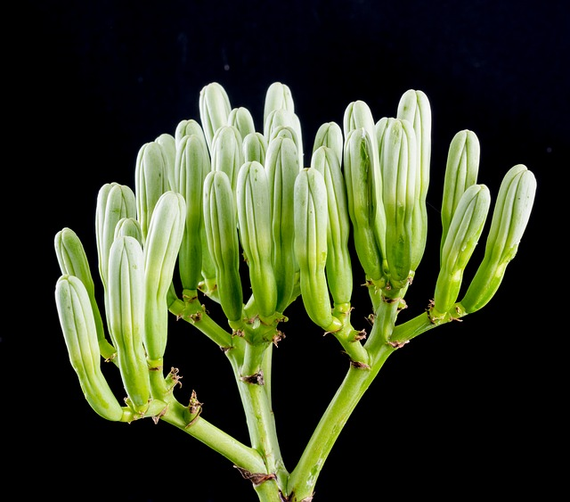 Free agave flower inflorescence flower close