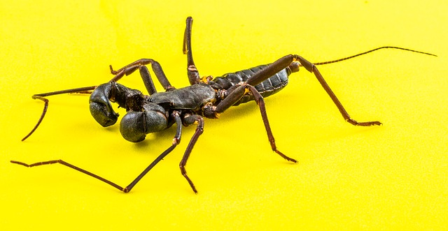 Free scorpio geisselskorpione uropygi insect close