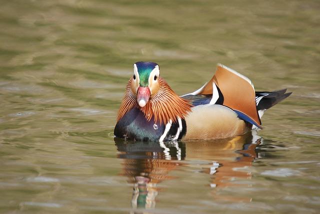 Free mandarin duck aix galericulata exotic wildlife