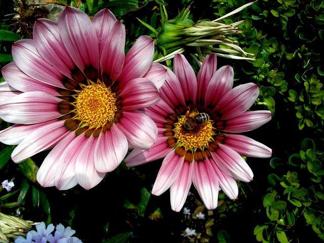 Free aster purple yellow bee flower blossom spring