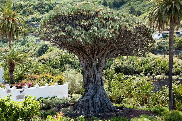 Free dragon tree tree canary island dragon tree