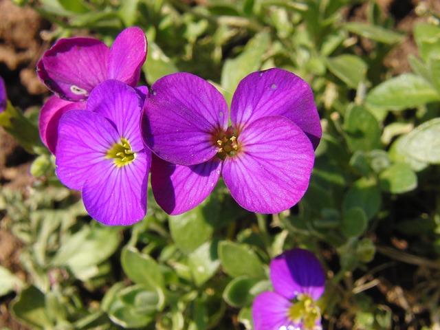 Free glockenbume flower violet purple