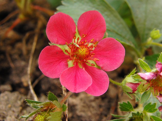 Free strawberry flower red flower spring fruit