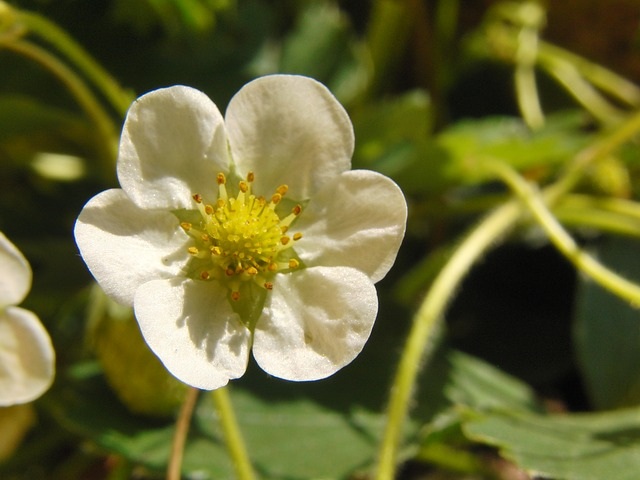 Free strawberry flower flower white spring fruit