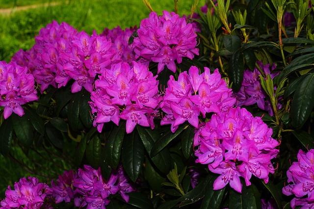 Free rhododendrons flowers bush purple tender beautiful