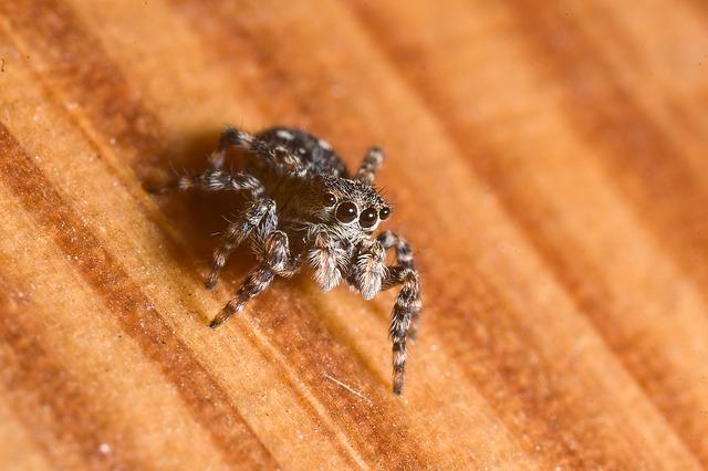Free spider skákavka macro eyes view
