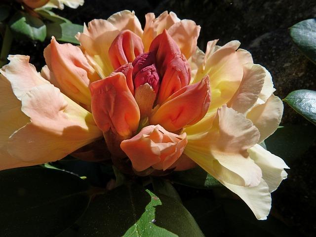 Free rhododendron flowers garden ornamentation shrub